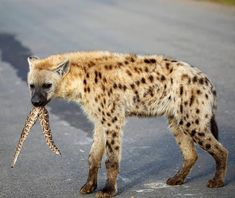 Spotted hyena with puff-adder in Kruger National Park Kruger National Park, National Parks, Cool Pictures, Cool Photos, Cat Activity, Male Lion, Most Beautiful Animals, Rare Animals, Wild Dogs