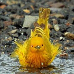 Yellow Warbler is a humble yellow lark, just measuring 5 crawls in length