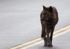 Last Spring: Wolf in the Road