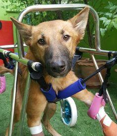 Cão que teve as pernas arrancadas por espada encontra um novo lar