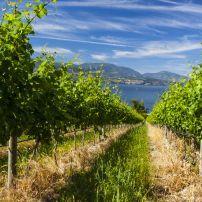 Vineyard, Okanagan Wine Coutry