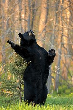 North American black bears are known to communicate using a keen sense of smell, body and facial expressions, sound and touch. Wounder what he is thinking??