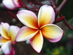 a plumeria blossom from the fragrant flowering tropical tree of the same name