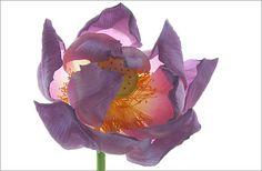 Close up of a Lotus Flower - IMG_1081 - , ハスの花, 莲花, گل لوتوس, Fleur de Lotus, Lotosblume, कुंद, 연꽃, yoga, by Bahman Farzad, via Flickr