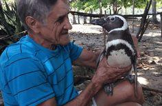 Megmentett pingvin meglátogatja a brazil férfit