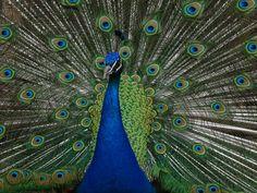 Påfågel hane