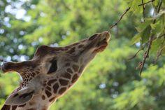 Imperial Zoo, Vienna Far Away, Vienna, Austria, Wander, Giraffe, Traveling, Europe, Animals, Viajes