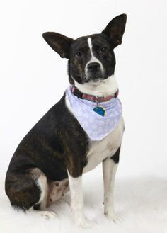 Pammy needs a home.in the North Augusta, SC area.   She is a Boston terrier mix who is 1-2 years old and weighs 30-35 lbs. Pammy is sweet, loves to cuddle and give kisses and gets along with other dogs.For more info on Pammy, please call her foster mom, Lisa, at 803-924-8653 or email her at Lorelaislair@bellsouth.net.