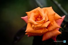 Orange Rose by Ramesh  Newell, via 500px