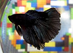 The Siamese fighting fish is a small and colourful carnivorous species of fish found in the Mekong River that runs through a number of countries in south-east Asia.