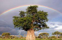 baobab <3