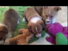 Cute corgi puppies playing with toys for the first time! https://www.youtube.com/watch?v=noh6lLgoFuA&feature=youtu.be