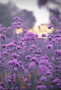 Verbena bonariensis is a great herbaceous perennial which grows up to around 1.20 in height, seeding itself all over the place. Despite its height, it is not a dense plant and therefore can be planted anywhere in the border as you can see through it. The flowers are a methylated spirits-mauve/purple.