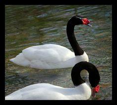 Beautiful!     Black Necked Swan mozing around.