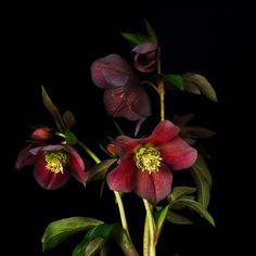 Helleborus- flowers in March.