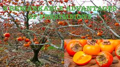 9 Remarkable Advantages Of Persimmons