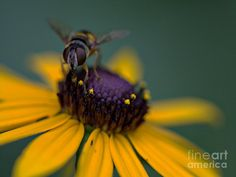 Black Eyed Susan Bee Photograph
