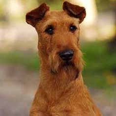 Erleben Sie die rasante Entwicklung unserer Irish Terrier Welpen ... Irish Setter, Sweet Dogs, Cute Dogs, Scottish Deerhound, Welsh Terrier, Irish Wolfhound, Brown Bear, Rottweiler, Thor