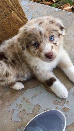 All About The Australian Shepherd Dog