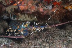 Our underwater photography intern, May Khine Soe, captured this stunning blue lobster while diving in Mozambique. Underwater Photography, Diving, Blue, Water Photography, Scuba Diving, Underwater Photos