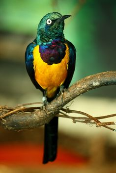 Beautiful Golden breasted Starling -   Photo by Siddy Lam on Flickr