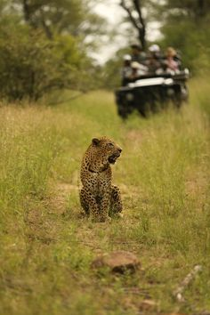 Campan the warrier poses for a quick shot with Melvin and his guests in the background, (Canon Mark III, ISO Spotted Cat, Out Of Africa, Leopards, Moorish, Wild Life, Big Cats, Beautiful Creatures, National Geographic, Canon