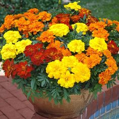 Marigold  Marigolds are incredibly easy-going and reliable under a wide range of growing conditions. Once planted, marigolds grow rapidly with no fuss.   [image]   View Details | Buy Marigold | Browse all Flower seeds >>   Most thrive in full sun, taking hot, sunny exposures in stride. However, marigolds will tolerate up to 20% shade if there is bright light the rest of the day.     Marigolds come in four different types. These are:   African :  These marigold flowers tend to be tall.  ...