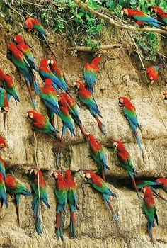 vintagenatgeographic:    Macaws in the Peruvian rain forest  National Geographic | January 1994
