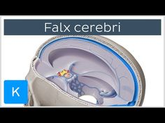 "Falx cerebri - Human Anatomy ""In this tutorial, we will be looking at one of the infoldings of the cranial dura mater: the falx cerebri. "" By: Kenhub. Cranial Anatomy, Brain Anatomy, Anatomy And Physiology, Human Anatomy, Dura Mater, Craniosacral Therapy, Cranial Nerves, Medical Science, Nclex"