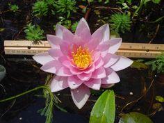 lotus flower - Поиск в Google