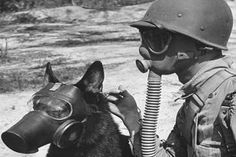 307769d1437667039-vintage-military-working-dog-gsd-art-images-wwiiimages2.jpg (600×400)