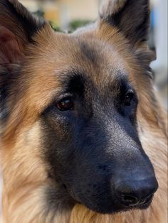 Types Of Dogs, Cute Dogs And Puppies, Sully, German Shepherds, Fur Babies, Best Friends, Beauty, Dogs, Animales