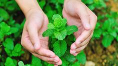 27 Medicial uses of Mint - The Best Herb   Tips Zone
