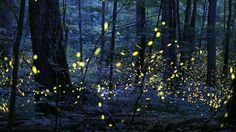 Although there are about 2,000 species of fireflies in the world, synchronous fireflies – ones that can coordinate their flash patterns – exist in just a handful of places on Earth.
