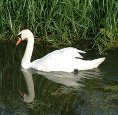 Zwaan in de buurt van Huissen. Swan near Huissen.
