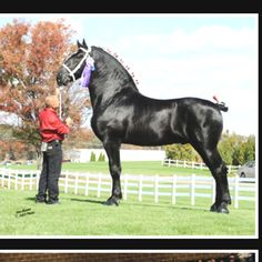 A black Percheron stallion. Percheron is a draft breed from northern France. Its exact origins are unknown but there has been some Arabian influence. Percherons are strong yet elegant horses and have been very sought after all around the world. They've been also used for creating and improving other breeds. Most Percherons are gray in France but for some reason black has been very popular in USA and most US Percherons are black.
