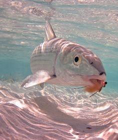Bimini Bonefish