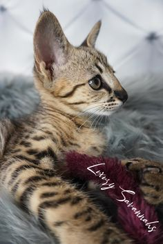 amazing F2 Savannah Kitten with black nose and tall ears Savannah Cat Breeders, Savannah Kittens For Sale, Savannah Chat, Serval Kittens For Sale, Kitten For Sale, Ears, Las Vegas, Exotic, Amazing