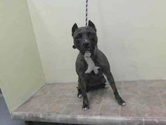 TO BE DESTROYED 10/12/14 Manhattan Center   My name is MEGAN. My Animal ID # is A1016767. I am a female br brindle and white pit bull mix. The shelter thinks I am about 1 YEAR   I came in the shelter as a STRAY on 10/08/2014 from NY 11420, owner surrender reason stated was STRAY.