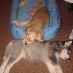 Lara & Lea #puppies #puppylove #sleepingpuppy #instapuppy #puppy #puppiesofinsta #instadog #mymaxizoo #rodipetfood