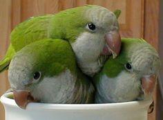 quaker parrot | Parrot #Quaker parrots