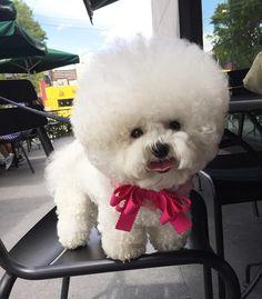 Bichon Tori, A Fluffy Little White Dog in Korea Who Sports a Perfectly Spherical Hairdo
