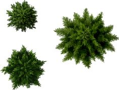conifers0.png (571×434)