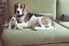 Beagle mama and baby Mariana Garcia Photography. Beagle mama and baby Cute Beagles, Cute Puppies, Cute Dogs, Baby Beagle, Beagle Puppy, Baby Animals, Cute Animals, Hound Dog, Kawaii