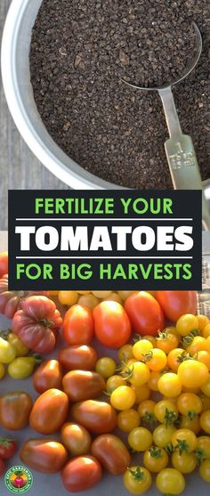 A good tomato fertilizer will make or break your tomato harvest. Find out about tomato fertilizers and how best to use them with our handy guide!
