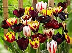 15 Endless Spring Burgundy Blend Tulip Bulbs by DaylilyNursery