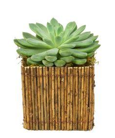 Super Succulent