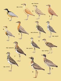 Family GLAREOLIDAE (PRATINCOLES and COURSERS)  1. Egyptian Plover (Pluvianus aegyptius)  2. Cream-coloured Courser (Cursorius cursor)  3. Burchell's Courser (Cursorius rufus)  4. Temminck's Courser (Cursorius temminckii)  5. Indian Courser (Cursorius coromandelicus)  6. Double-banded Courser (Smutsornis africanus)  7. Three-banded Courser (Rhinoptilus cinctus)  8. Bronze-winged Courser (Rhinoptilus chalcopterus)  9. Jerdon's Courser (Rhinoptilus bitorquatus)