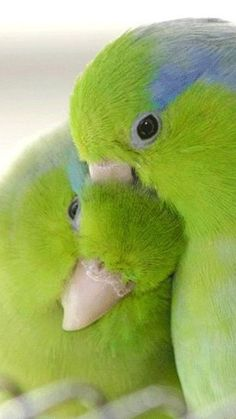 Pacific Parrotlets, native to Ecuador and Peru; four and a half to five inches long.