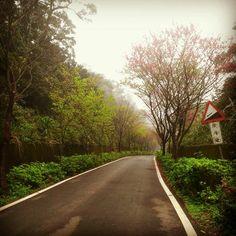 三芝櫻花步道